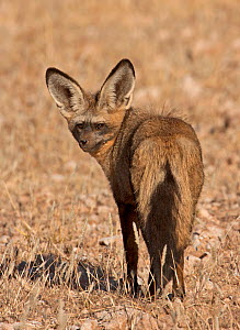 Bat-eared Fox (Otocyon megalotis) portrait standing, taken in the Kgalagadi TB Park, South Africa, June - Charlie Summers