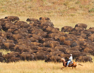 Cowboy working with herd of American Bison (Bison Bison) during the 2010 buffalo roundup in Custer State Park; South Dakota, September 2010 - Charlie Summers