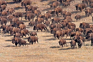 American Bison (Bison bison) herd being driven from their free range in Custer State Park, to holding pens during the annual Buffalo roundup.  The Park Service has learned not to run the herd but they...  -  Charlie Summers