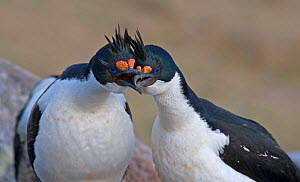 King Cormorants (Phalacrocorax atriceps) courting atop their nesting site, strengthening the pair bond. Sea Lion Island, Falkland Islands  -  Charlie Summers
