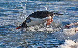 Gentoo Penguin (Pygoscelis papua) diving off snowbank into the water. Taken at Port Lockroy, Antarctica, November  -  Charlie Summers