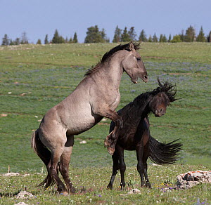 Wild Horses (Equus ferus caballus) dominance fight in high mountain meadow. Pryor Mountains of Montana, USA  -  Charlie Summers