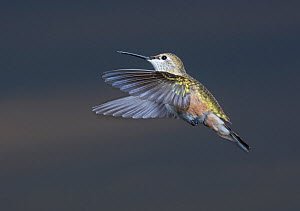 Female Broad-tailed Hummingbird (Selasphorus platycercus) in flight, Douglas County, Colorado, USA, August  -  Charlie Summers