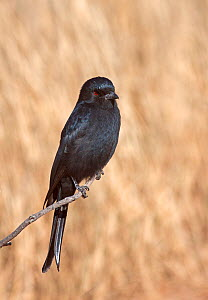 Fork-tailed / Common Drongo (Dicrurus adsimilis) perched on branch, Kgalagadi TB Park of South Africa, May  -  Charlie Summers