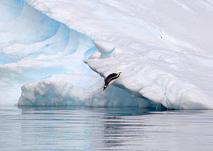 Gentoo Penguin (Pygoscelis papua) diving off iceberg and into waters of Pleneau Bay, Antarctica, November - Charlie Summers
