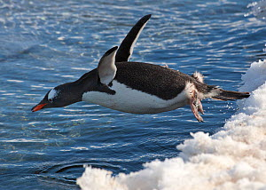 Gentoo Penguin (Pygoscelis papua) diving off snowbank into the water. Port Lockroy, Antarctica, November  -  Charlie Summers