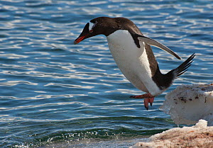 Gentoo Penguin (Pygoscelis papua) jumping off icy snowbank and into the water. Port Lockroy, Antarctica, November  -  Charlie Summers