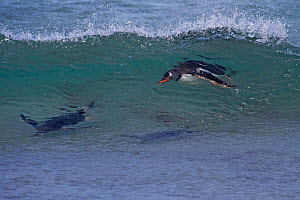 Gentoo Penguin (Pygoscelis papua) raft in the face of a wave close to shore. Falkland Islands, December  -  Charlie Summers