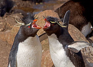 Pair of Rockhopper Penguins (Eudyptes chrysocome) braying in unison in courtship display, at their nesting site. Saunders Island in the Falkland Islands.  -  Charlie Summers