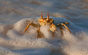Horn-eyed Ghost Crab (Ocypode ceratophthalma) in the edge of the surf on a Cocos-Keeling Island beach, Australian external territory in the Indian Ocean.  -  Charlie Summers