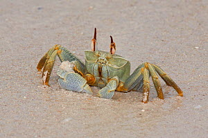 Horn-eyed Ghost Crab (Ocypode ceratopthalma)  on a Cocos-Keeling Island beach, Australian external territory in the Indian Ocean.  -  Charlie Summers