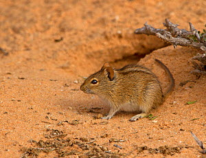 Kalahari Four-striped Mouse (Rhabdomys pumilio) outside one of its burrow entrances, Kgalagadi TB Park of South Africa, May  -  Charlie Summers