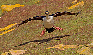King Cormorant (Phalacrocorax albiventer) landing on grass, Saunders Island, Falkland Islands, December  -  Charlie Summers