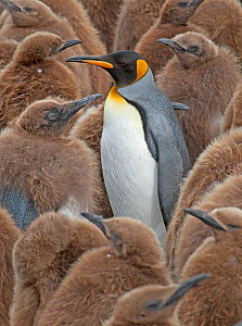 King Penguin (Aptenodytes patagonicus) adult standing amongst colony of chicks, Gold Harbor, South Georgia, South Atlantic Islands  -  Charlie Summers