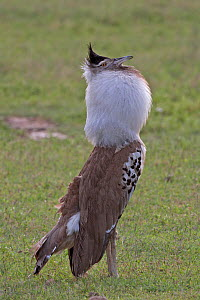 Kori Bustard (Ardeotis kori) calling during courtship display, Ngorongoro Crater of Tanzania, East Africa  -  Charlie Summers