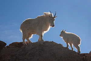 Rocky Mountain Goat (Oreamnos americanus) Nanny and Kid on the skyline of a ridge, Mount Evans west of Denver, Colorado, USA  -  Charlie Summers