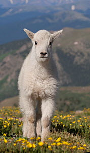 Rocky Mountain Goat kid (Oreamnos americanus) portrait, on tundra of Mount Evans west of Denver, Colorado, USA  -  Charlie Summers