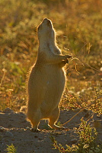 Western Black-tailed Prairie Dog (Cynomys ludovicianus) giving territorial cry, Wind Cave national Park of South Dakota - Charlie Summers