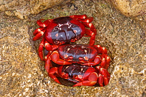 Three  male Christmas Island Red Crabs (Gecarcoidea natalis) huddled together in a safe hole in rocks on a beach, await the arrival of the female Red Crabs as their part of the annual migration. Chris...  -  Charlie Summers