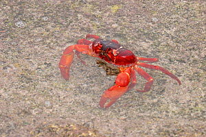 Christmas Island Red Land Crab (Gecarcoidea natalis) in shallow water, Christmas Island, Indian Ocean, Australia  -  Charlie Summers