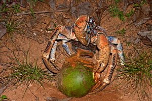 Robber / Coconut Crab (Birgus latro) opening a green coconut, Christmas Island, Australia, Indian Ocean, November. Sequence 1/3  -  Charlie Summers
