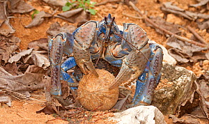 Robber / Coconut Crab (Birgus latro) holding coconut with husk removed, Christmas Island, Australia, Indian Ocean, November. Sequence 2/3  -  Charlie Summers