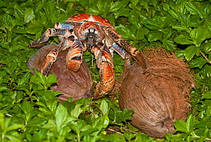 Robber Crab (Birgus latro) with two coconuts, and beginning to open the first, Christmas Island, Australia in the Indian Ocean  -  Charlie Summers