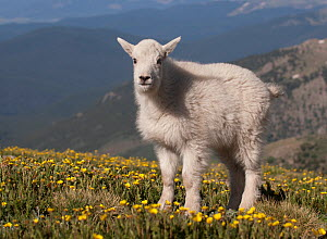 Rocky Mountain Goat kid (Oreamnos americanus); standing on the tundra of Mount Evans west of Denver, Colorado, USA  -  Charlie Summers