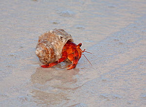 Strawberry land Hermit Crab (Coenobita perlatus) moving across beach, in early morning. Cocos-Keeling Island group of Australia. - Charlie Summers