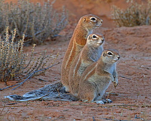 Three Cape Ground Squirrels (Xerus inauris)  standing together at sunset. Kgalagadi TB Park of South Africa - Charlie Summers