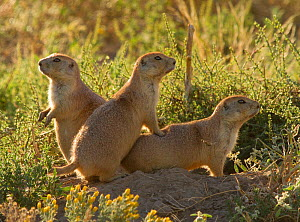 Three Western Black-tailed Prairie Dogs (Cynomys ludovicianus) at entrance to burrow. Cheyenne River drainage south of Hot Springs, South Dakota, USA  -  Charlie Summers