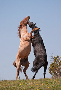 Two Mustang (Equus caballus) stallions, a strawberry roan on the left and a black on the right, rearing and fighting for dominance,  Pryor Mountain Range of Montana, USA  -  Charlie Summers