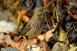 Rock Pippit (Anthus petrosus) foraging, Menai Straits, Caernarvon. Gwynedd. North Wales. UK, October  -  Mike Potts