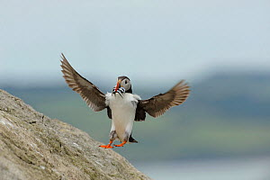 Puffin (Fratercula arctica) landing on cliff, carrying Sand eels (Ammodytes tobianus) Puffin Island, North Wales, UK, July - Mike Potts