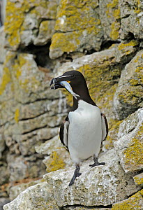 Razorbill (Alca torda) standing on lichen covered cliff ledge, with Sand eel (Ammodytes tobianus) in bill, Puffin Island. off Anglesey, North Wales, UK, June - Mike Potts