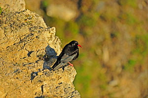 Chough (Pyrrhocorax pyrrhocorax) perched on cliff in evening sunlight. South Stack, Anglesey, North Wales, UK, June  -  Mike Potts