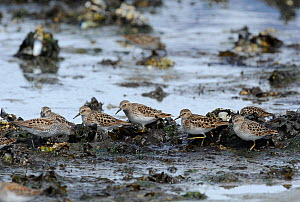 Flock of Least Sandpipers (Calidris minutilla) feeding on mussel beds during migration stop-over. Mendenhall Wetlands. Juneau. Alaska. USA, May - Mike Potts