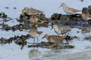 Mixed flock of Least Sandpipers (Calidris minutilla) and Western Sandpipers (Calidris mauri) feeding on mussel beds during migration stop-over. Mendenhall Wetlands. Juneau. Alaska. USA May - Mike Potts
