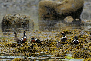 Five Harlequin Ducks (Histrionicus histrionicus) four males and one female, roosting on seaweed covered rocks. Lynn Canal. Juneau. Alaska. USA. May  -  Mike Potts