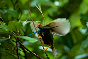 Wallace's Standardwing Bird of Paradise (Semioptera wallacei) male at his display site in the rainforest canopy, Halmahera, Indonesia.  -  Tim Laman
