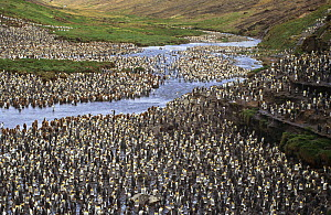 King penguin breeding colony (Aptenodytes patagonicus) Possession island, Crozet Archipelago, Sub-antarctic, Territory of the French Southern and Antarctic Lands, December 1999 - Eric Baccega