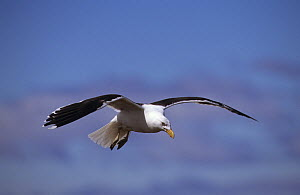 Kelp / Southern black backed gull (Larus dominicanus) in flight, Kerguelen Island, Sub-antarctic, Territory of the French Southern and Antarctic Lands, December  -  Eric Baccega