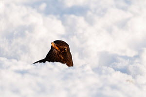 Female Blackbird {Turdus merula} in deep snow, nr Bradworthy, Devon, UK, December 2010 - Ross Hoddinott
