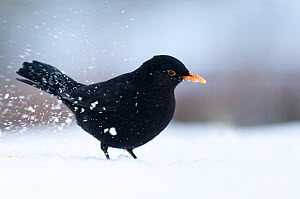 Male Blackbird {Turdus merula} digging for food in snow, Bradworthy, Devon, UK. December 2010  -  Ross Hoddinott