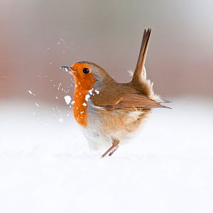 Robin (Erithacus rubecula) displaying in snow, nr Bradworthy, Devon, UK. December 2010,  HIGHLY COMMENDED, ANIMAL PORTRAITS, 2011 WILDLIFE PHOTOGRAPHER OF THE YEAR COMPETITION  -  Ross Hoddinott