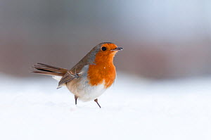 Robin {Erithacus rubecula} in snow, nr Bradworthy, Devon, UK. December 2010 - Ross Hoddinott