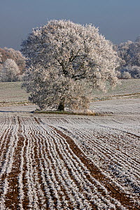 Hoar frost covering ploughed field, with mature Oak tree (Quercus) Warwickshire, England, UK, December 2010 - John Cancalosi