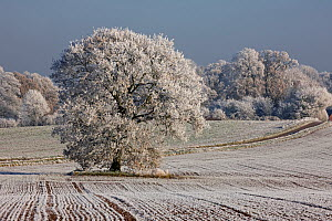 Hoar frost covering ploughed field, with mature Oak tree (Quercus) and woodlands, Warwickshire, England, UK, December 2010  -  John Cancalosi
