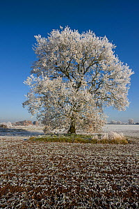 Kenilworth Castle and mature tree covered in hoar frost, in ploughed field, Warwickshire, England, UK, December 2010  -  John Cancalosi