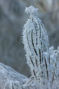 Osier stems (Salix viminalis) covered in hoar frost, Warwickshire, England, UK  -  John Cancalosi